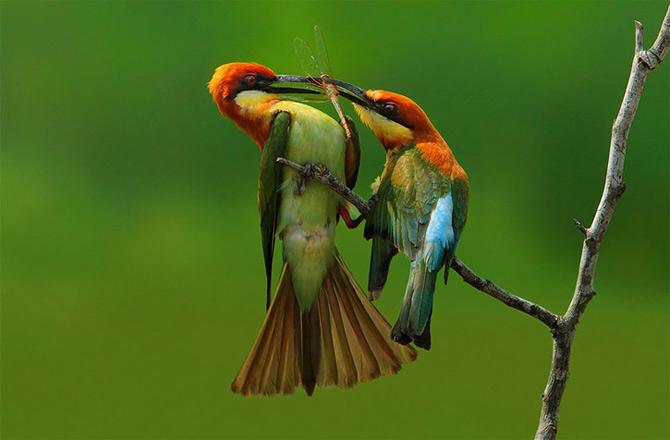Triluri thailandeze multi-colore - Poza 6