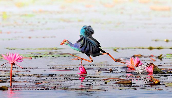 Triluri thailandeze multi-colore - Poza 10