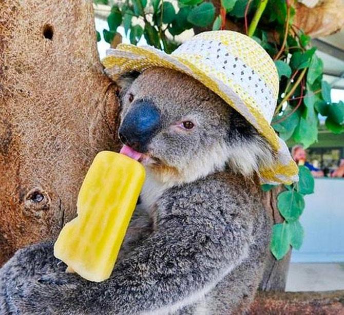 10 ursi koala adorabili - Poza 1