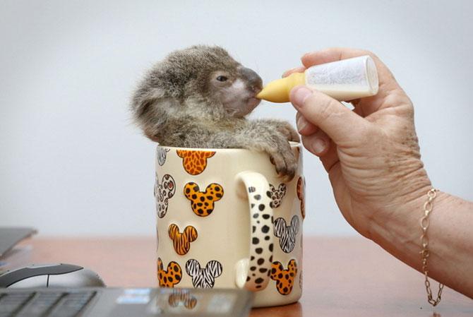 10 ursi koala adorabili - Poza 2