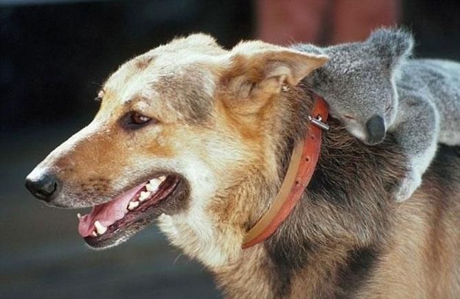 10 ursi koala adorabili - Poza 3