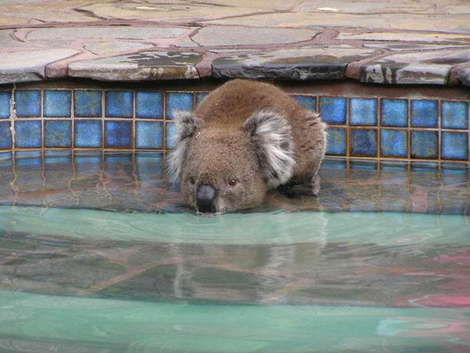 10 ursi koala adorabili - Poza 4