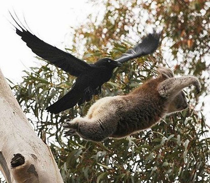 10 ursi koala adorabili - Poza 5