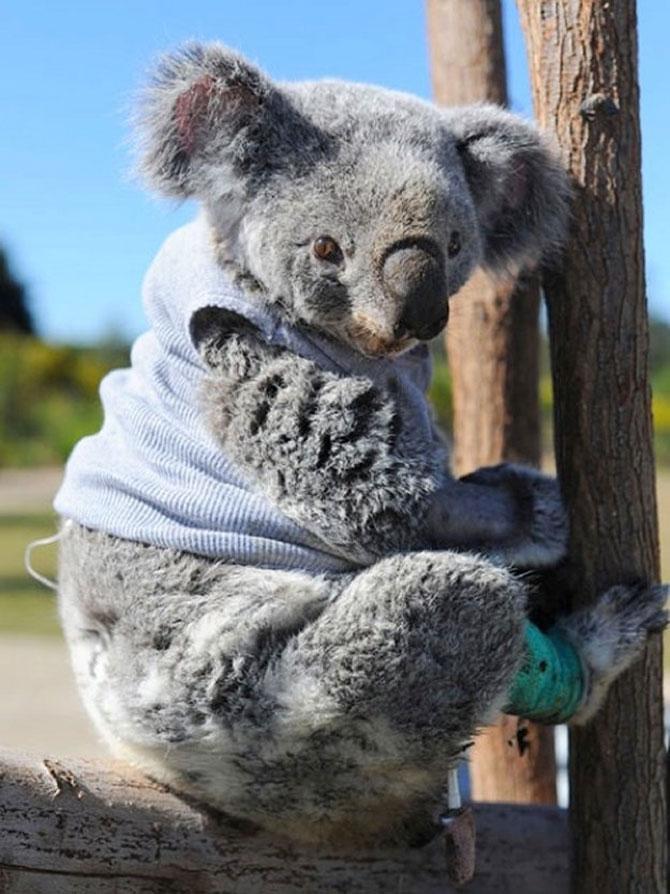 10 ursi koala adorabili - Poza 6