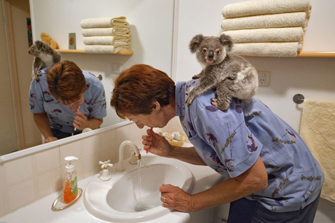 10 ursi koala adorabili - Poza 7