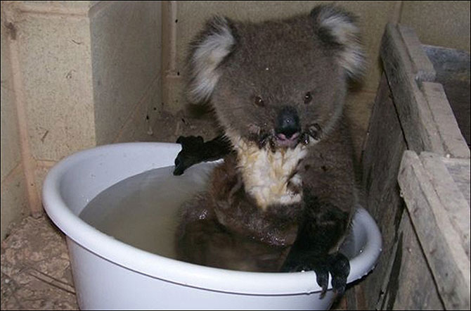 10 ursi koala adorabili - Poza 8