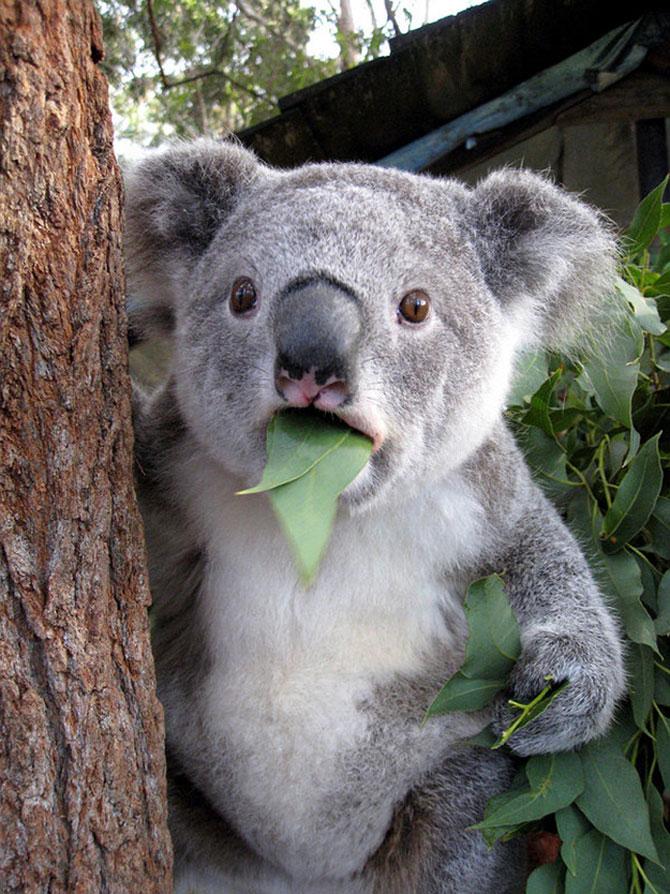 10 ursi koala adorabili - Poza 9
