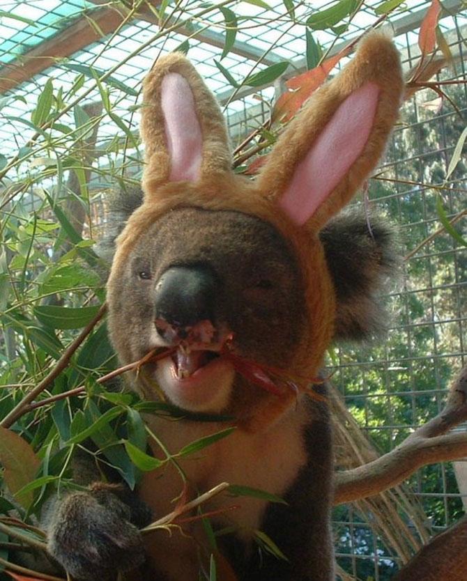 10 ursi koala adorabili - Poza 10