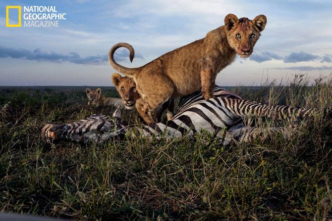 Cu leii in Serengeti, pentru National Geographic - Poza 1