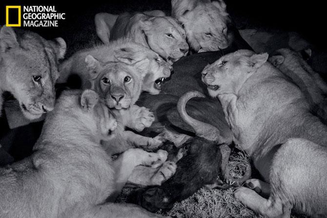 Cu leii in Serengeti, pentru National Geographic - Poza 2