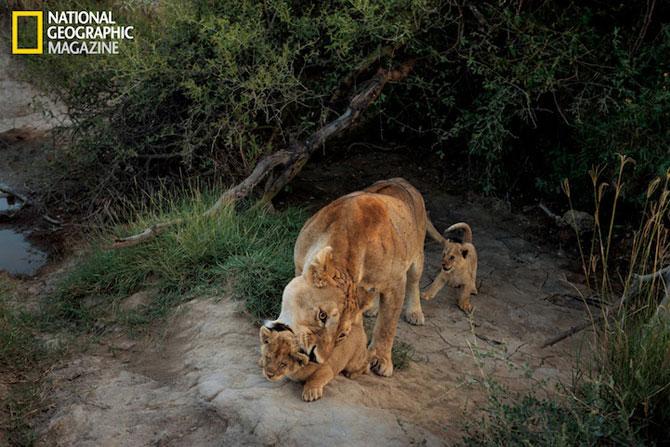 Cu leii in Serengeti, pentru National Geographic - Poza 3