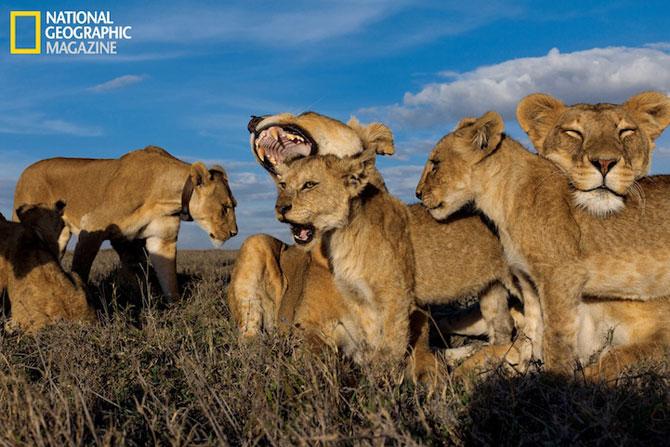 Cu leii in Serengeti, pentru National Geographic - Poza 4