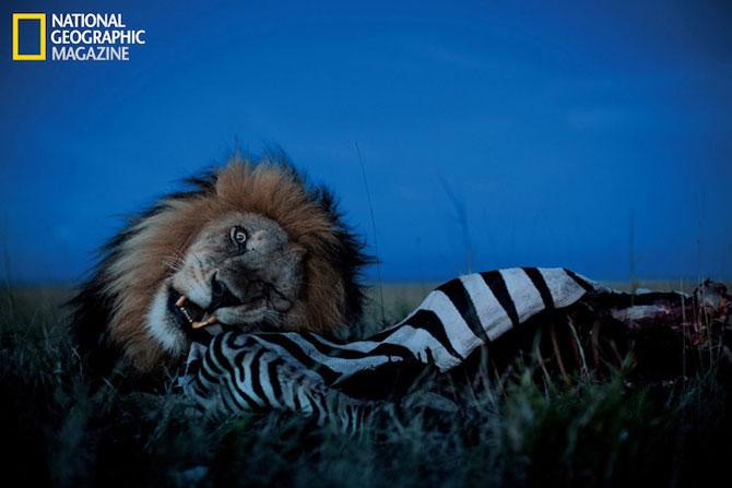 Cu leii in Serengeti, pentru National Geographic - Poza 5