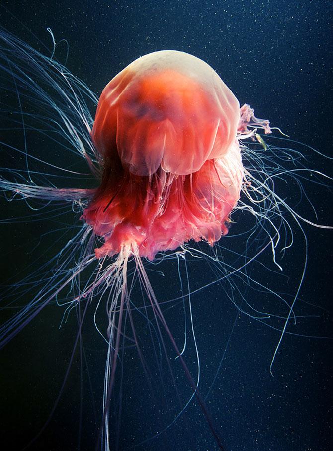 Flori subacvatice - fotografii cu meduze - Poza 1