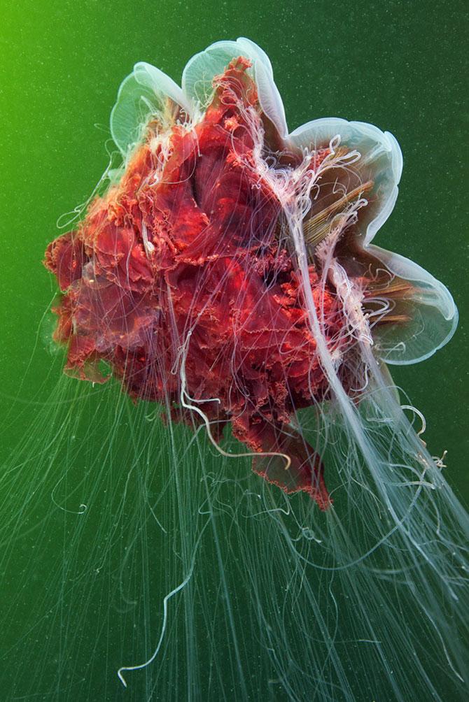 Flori subacvatice - fotografii cu meduze - Poza 2