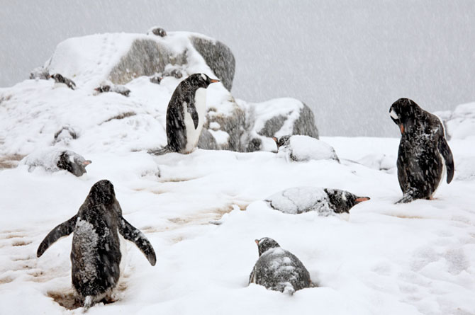 Unhappy Feet: Viata grea de pinguin, de Camille Seaman - Poza 4