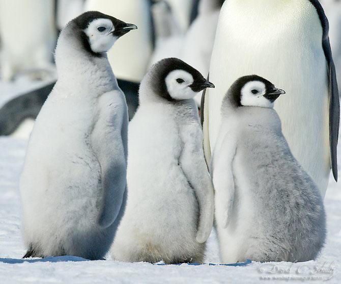 Fotograful David Schultz a marsaluit cu imparatul-pinguin - Poza 1
