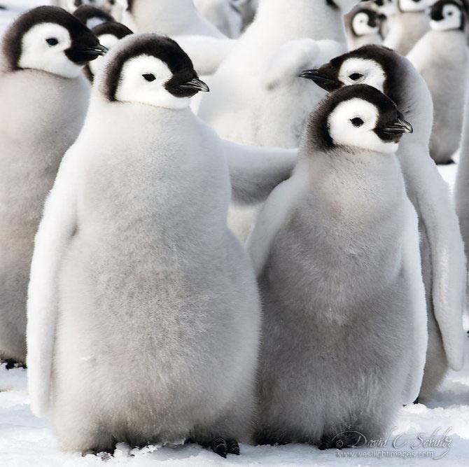 Fotograful David Schultz a marsaluit cu imparatul-pinguin - Poza 2