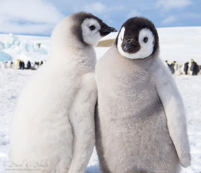 Regele pinguinilor imperiali - Poza 3