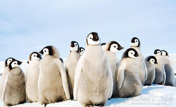 Fotograful David Schultz a marsaluit cu imparatul-pinguin - Poza 3