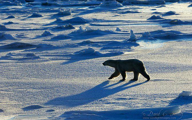 Fotograful David Schultz a marsaluit cu imparatul-pinguin - Poza 4