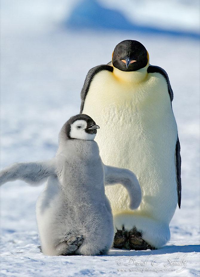Regele pinguinilor imperiali - Poza 5