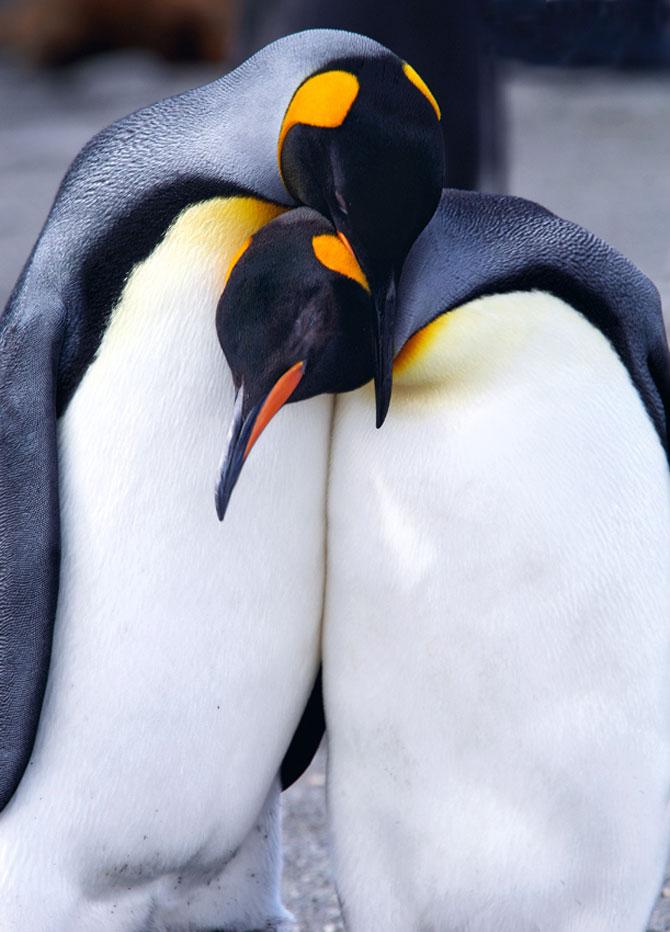 Regele pinguinilor imperiali - Poza 6