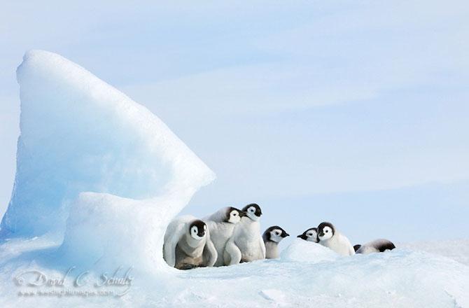 Regele pinguinilor imperiali - Poza 7