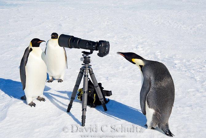 Fotograful David Schultz a marsaluit cu imparatul-pinguin - Poza 8