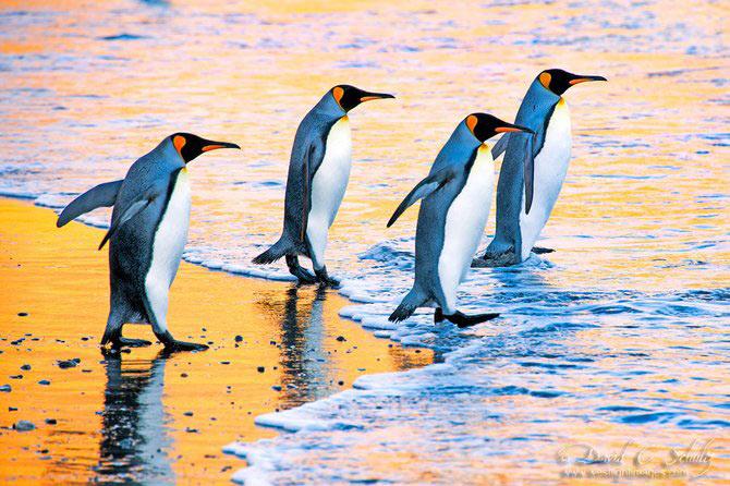 Fotograful David Schultz a marsaluit cu imparatul-pinguin - Poza 9
