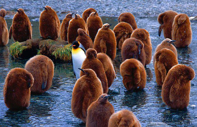 Fotograful David Schultz a marsaluit cu imparatul-pinguin - Poza 10