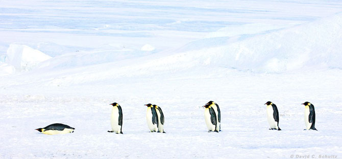 Regele pinguinilor imperiali - Poza 11