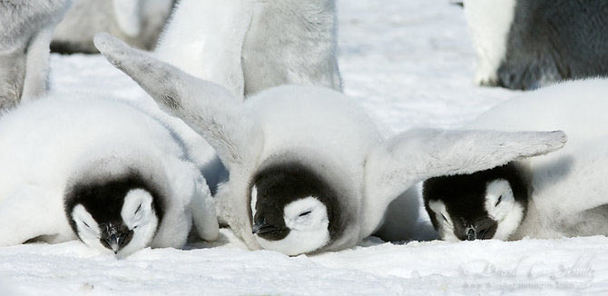 Fotograful David Schultz a marsaluit cu imparatul-pinguin - Poza 13