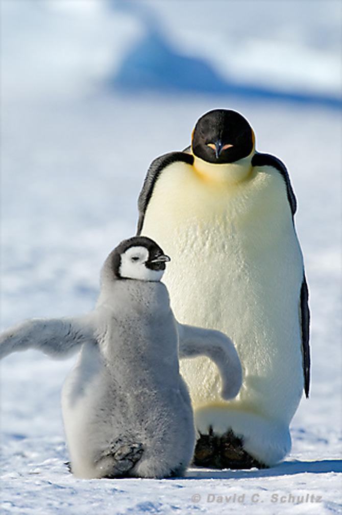 Fotograful David Schultz a marsaluit cu imparatul-pinguin - Poza 17