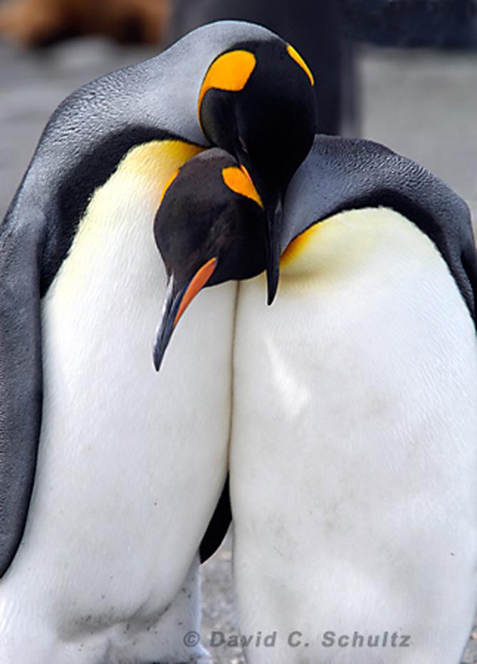 Fotograful David Schultz a marsaluit cu imparatul-pinguin - Poza 18