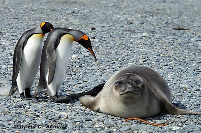 Fotograful David Schultz a marsaluit cu imparatul-pinguin - Poza 19