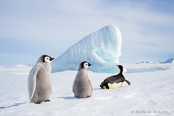 Fotograful David Schultz a marsaluit cu imparatul-pinguin - Poza 21