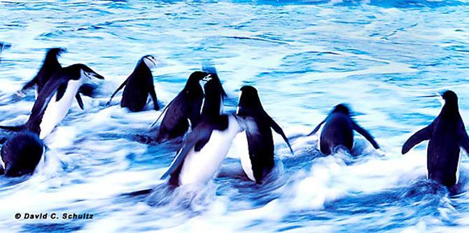 Fotograful David Schultz a marsaluit cu imparatul-pinguin - Poza 22