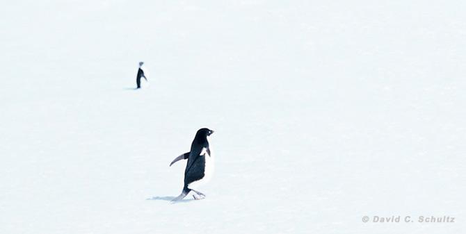 Fotograful David Schultz a marsaluit cu imparatul-pinguin - Poza 23