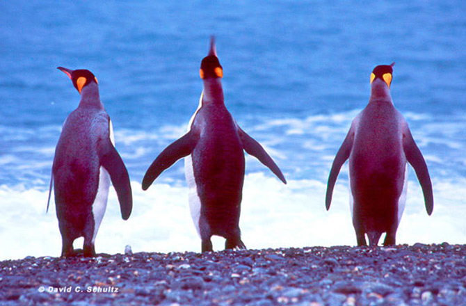 Fotograful David Schultz a marsaluit cu imparatul-pinguin - Poza 24