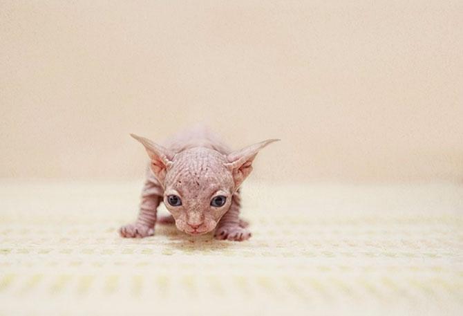 Fotografii cu pisica Sphynx de Serena Hodson - Poza 2