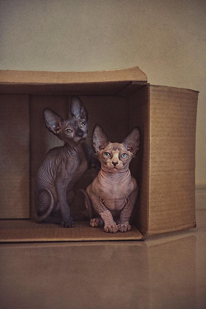 Fotografii cu pisica Sphynx de Serena Hodson