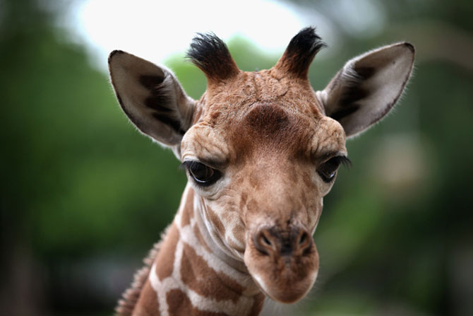 O zi din viata unei girafe la zoo - Poza 1