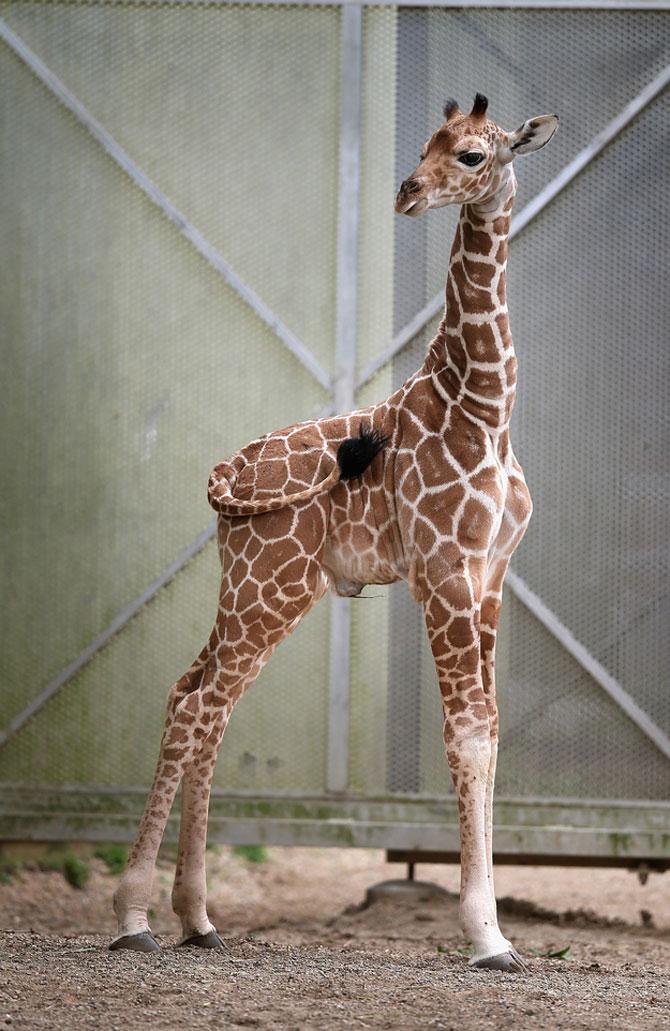O zi din viata unei girafe la zoo - Poza 2