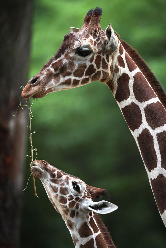 O zi din viata unei girafe la zoo - Poza 3