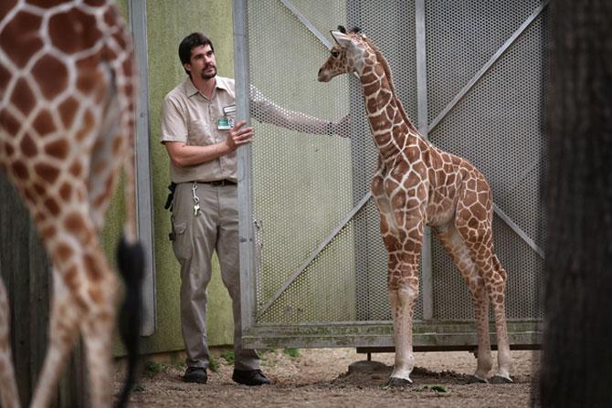 O zi din viata unei girafe la zoo - Poza 5