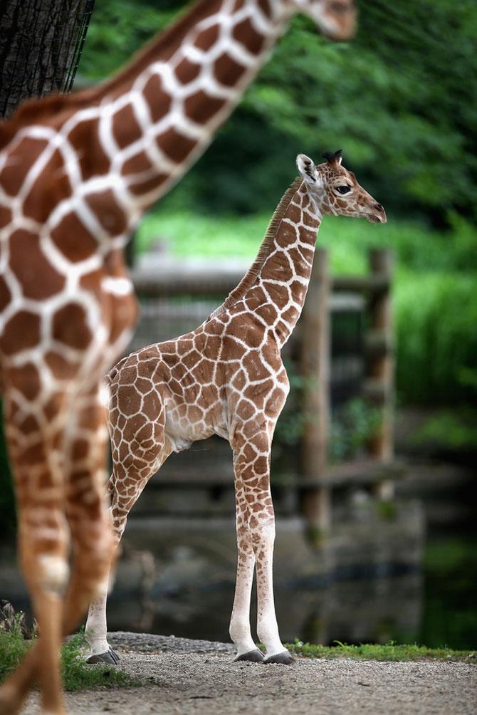 O zi din viata unei girafe la zoo - Poza 6