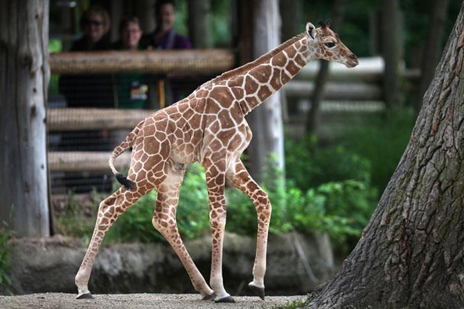 O zi din viata unei girafe la zoo - Poza 7
