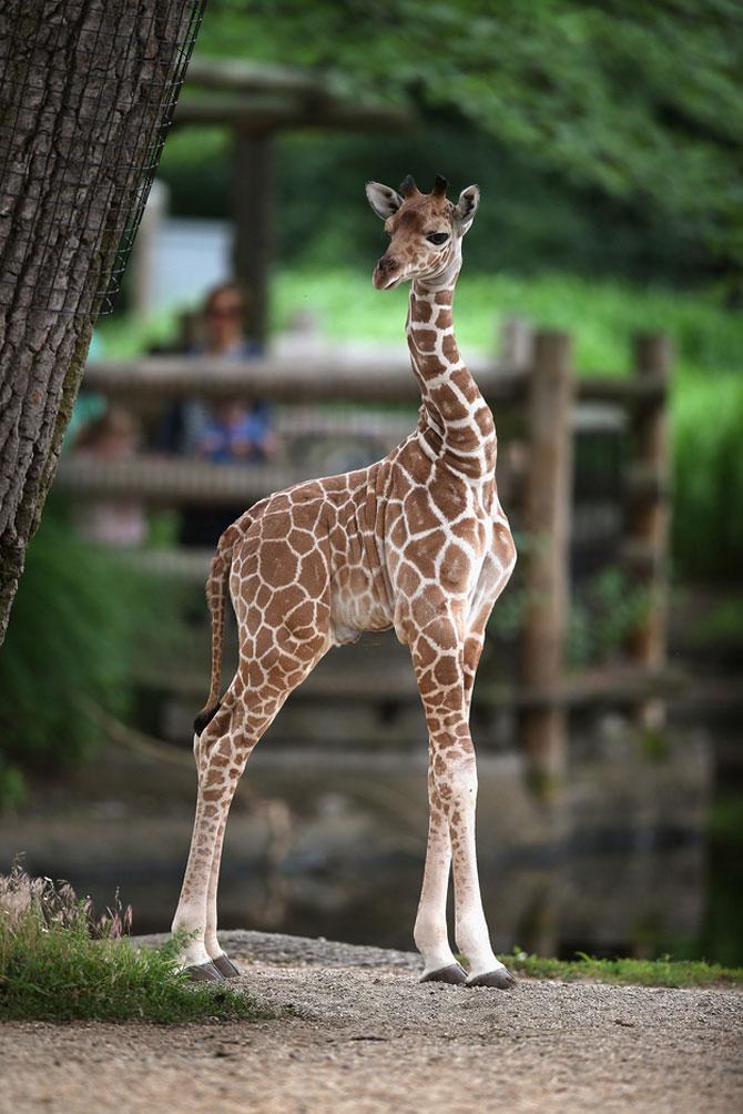 O zi din viata unei girafe la zoo - Poza 8
