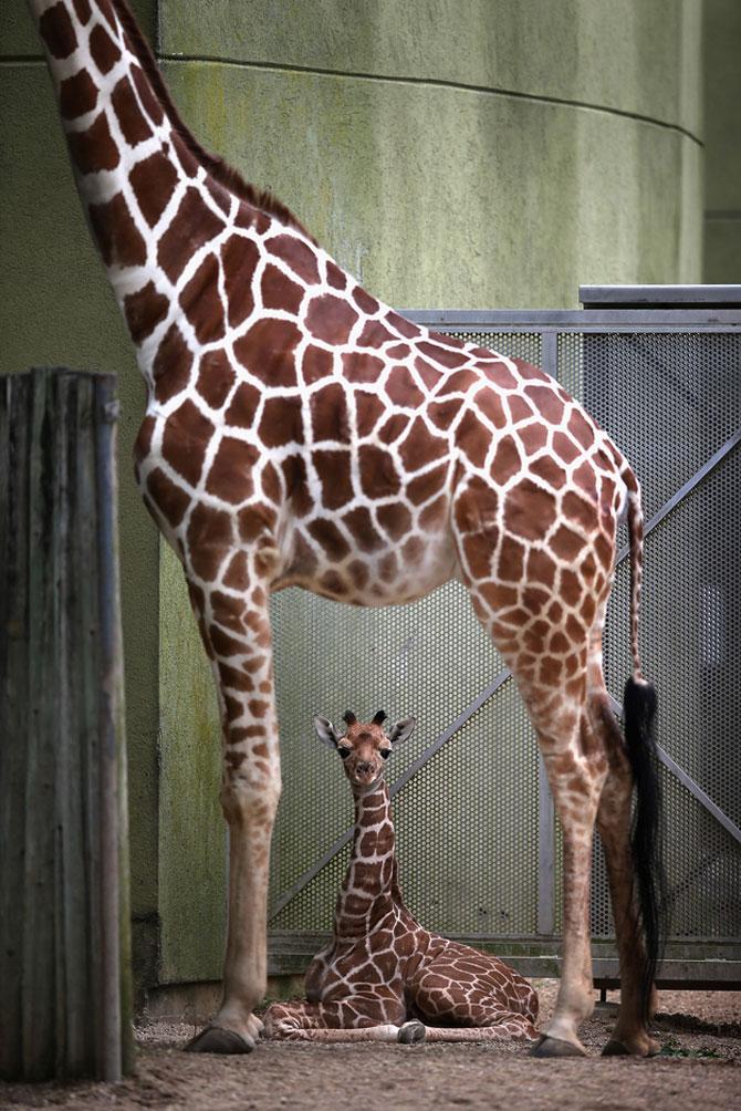 O zi din viata unei girafe la zoo - Poza 10